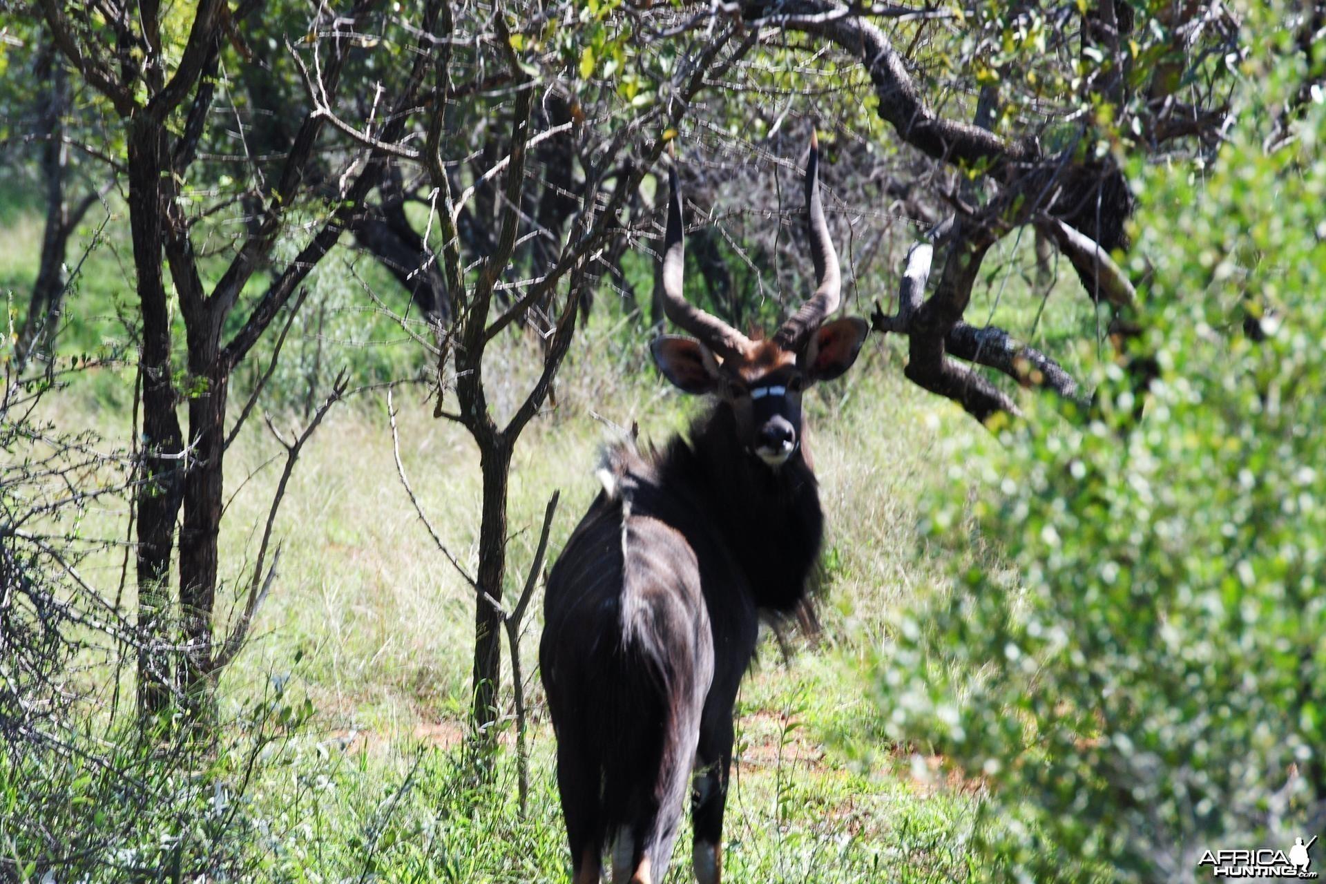 Nyala South Africa