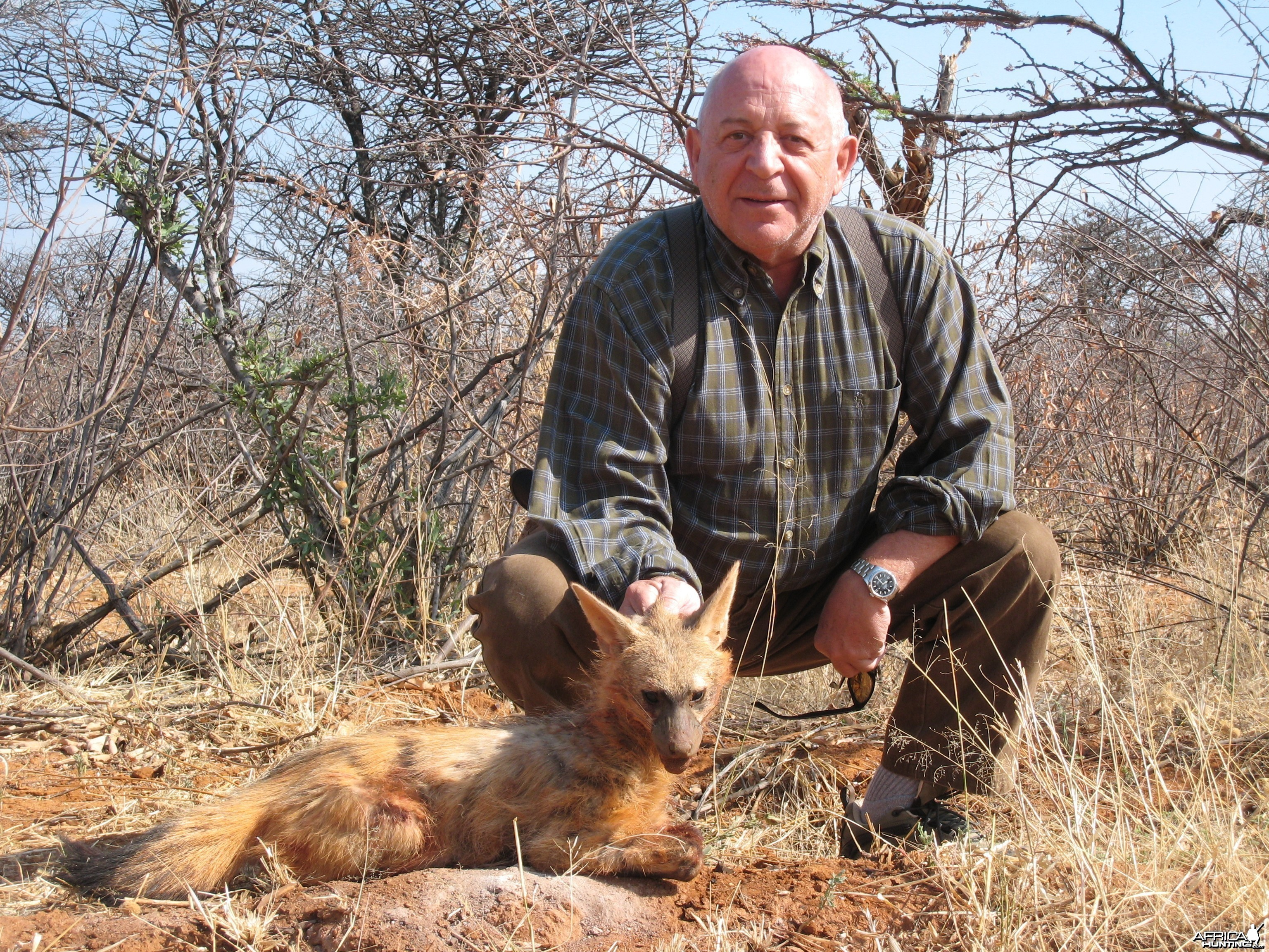 Hunting Aardwolf in Namibia
