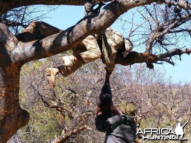 Hanging bait for Leopard