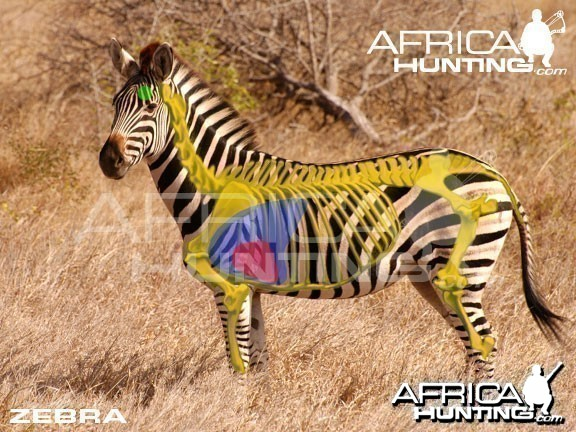 Bowhunting Zebra Shot Placement