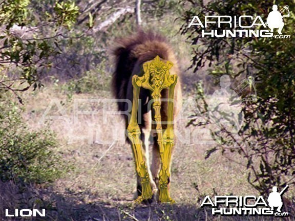 Bowhunting Lion Rear View Shot Placement