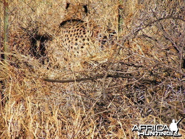 Trapped Cheetah in Namibia