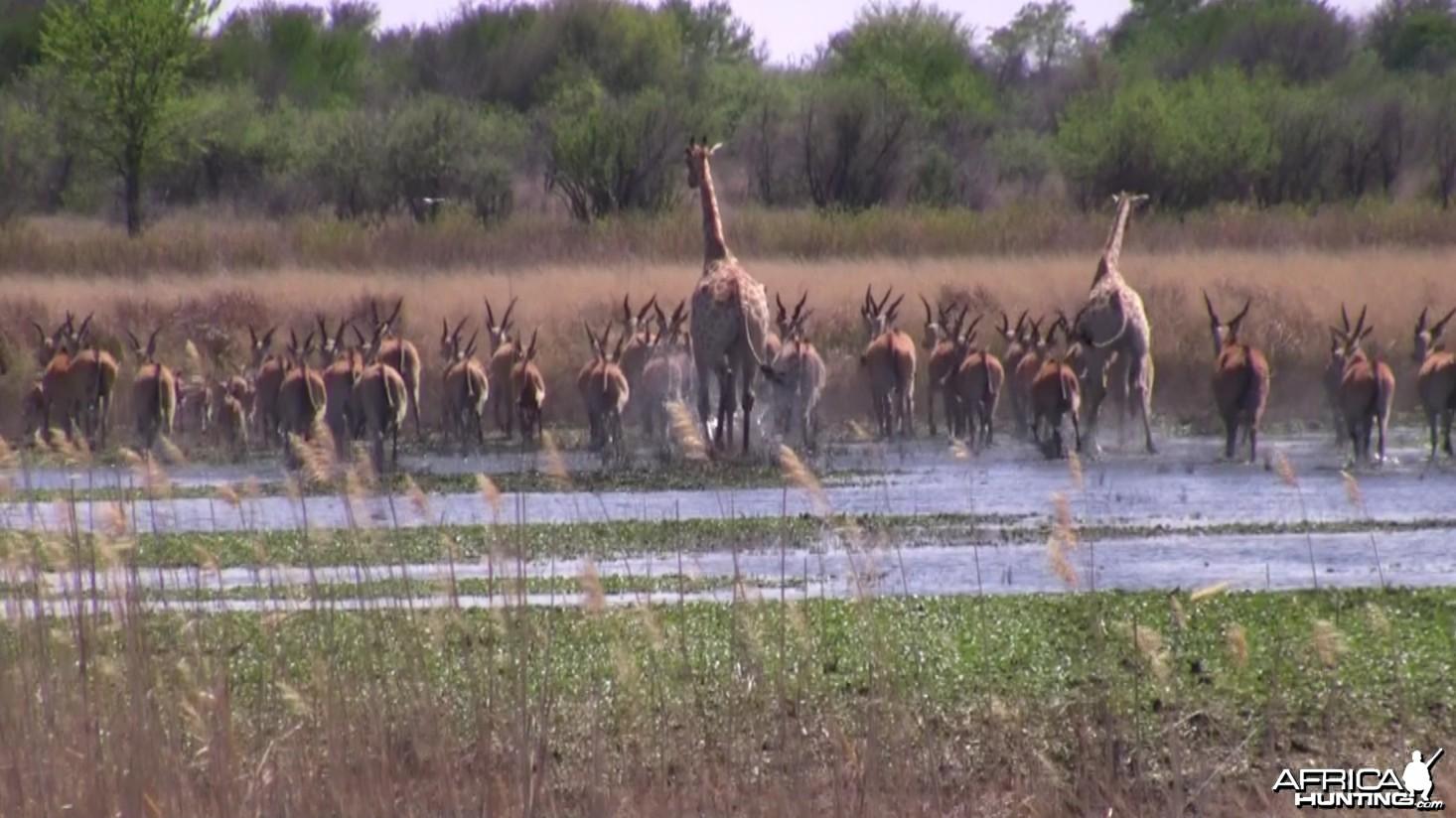 Thundering herd... Giraffe, Eland, Zebra, Impala...