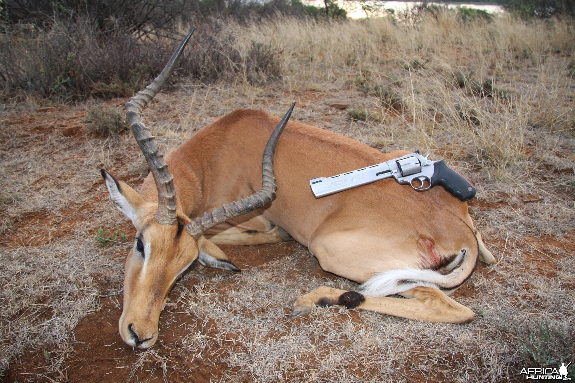 Impala... South Africa
