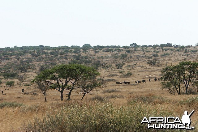 Some black wildebeest on one of the ranches in the area, South Africa