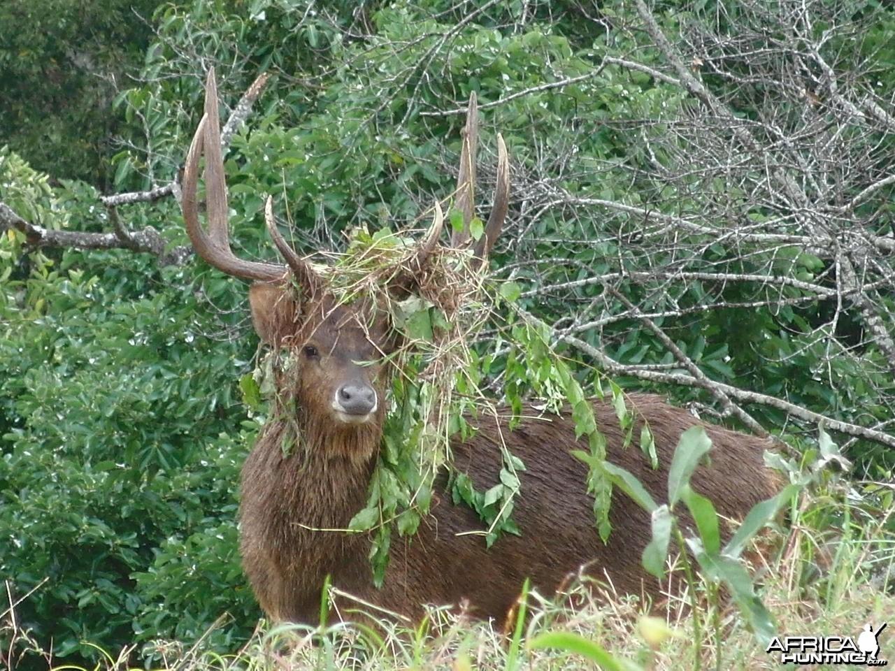 Bowhunting Rusa Deer in Mauritius