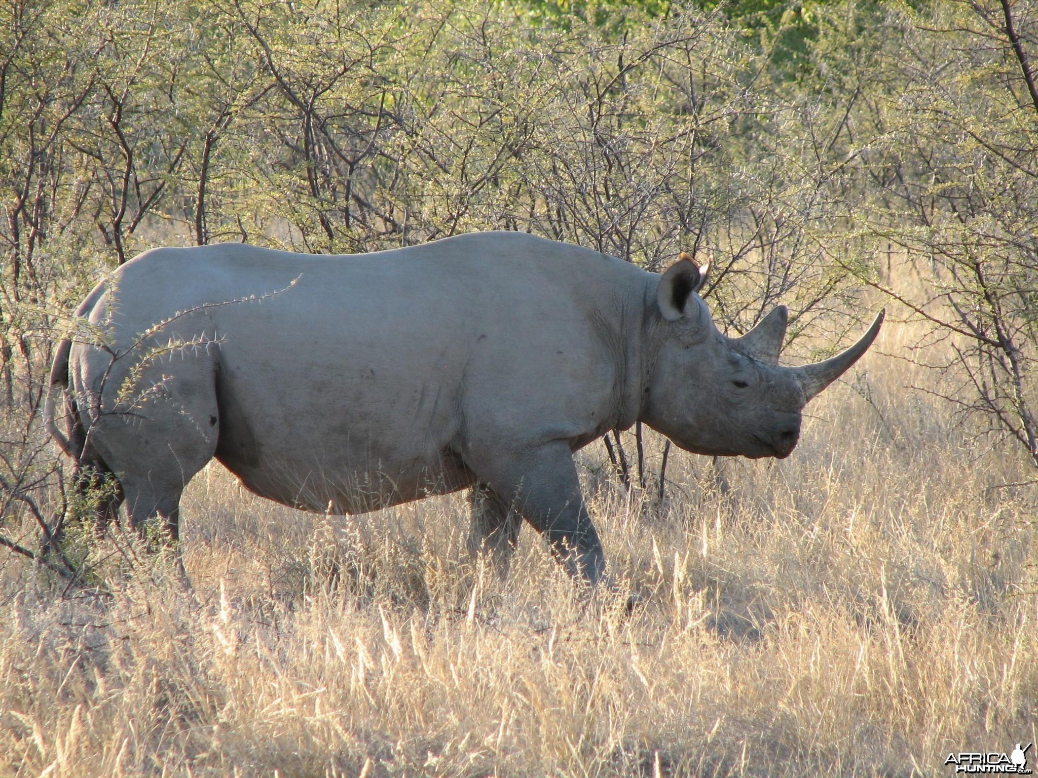 rhino-etosha