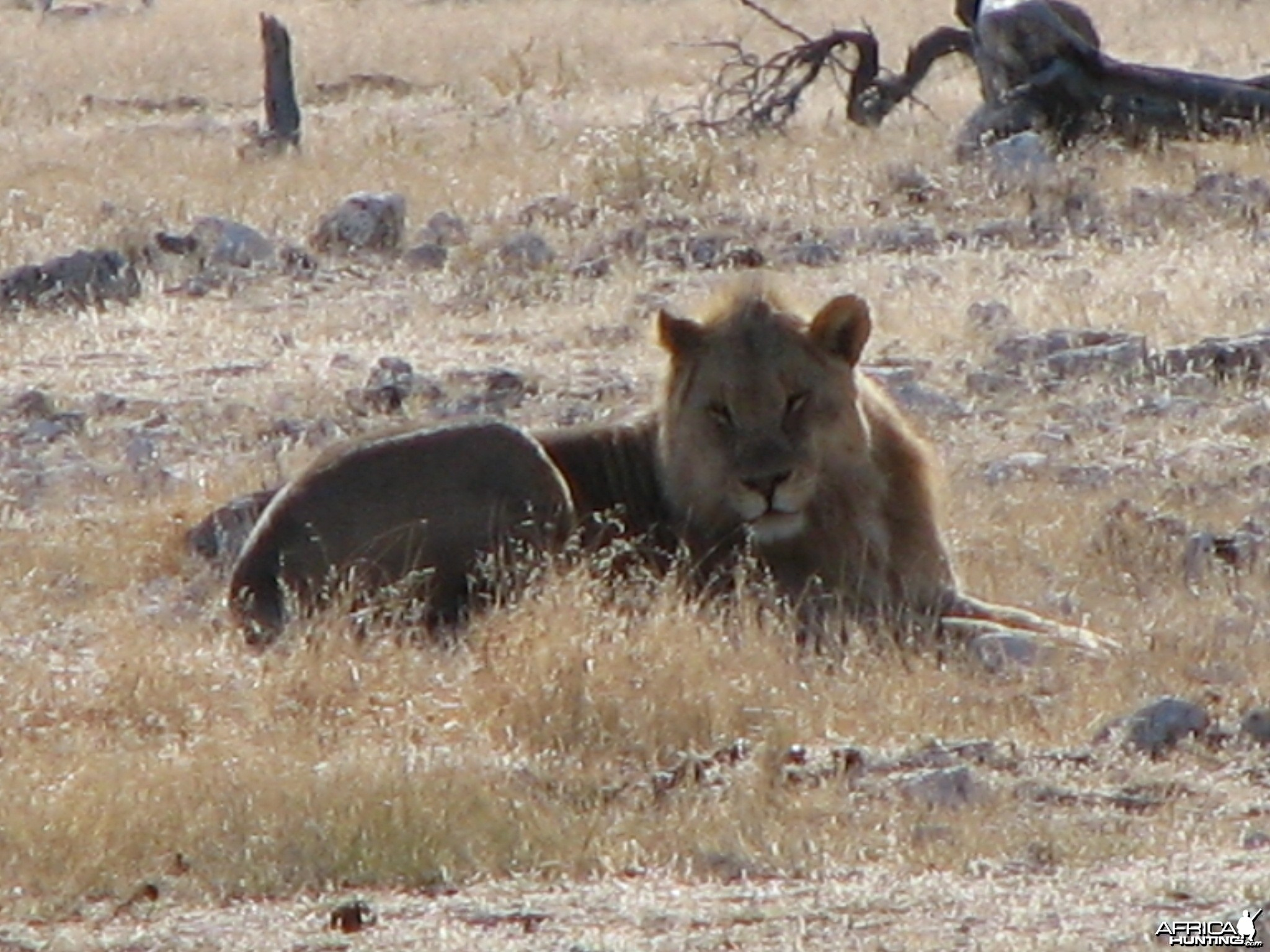 Lion at Etosha National Park, Namibia