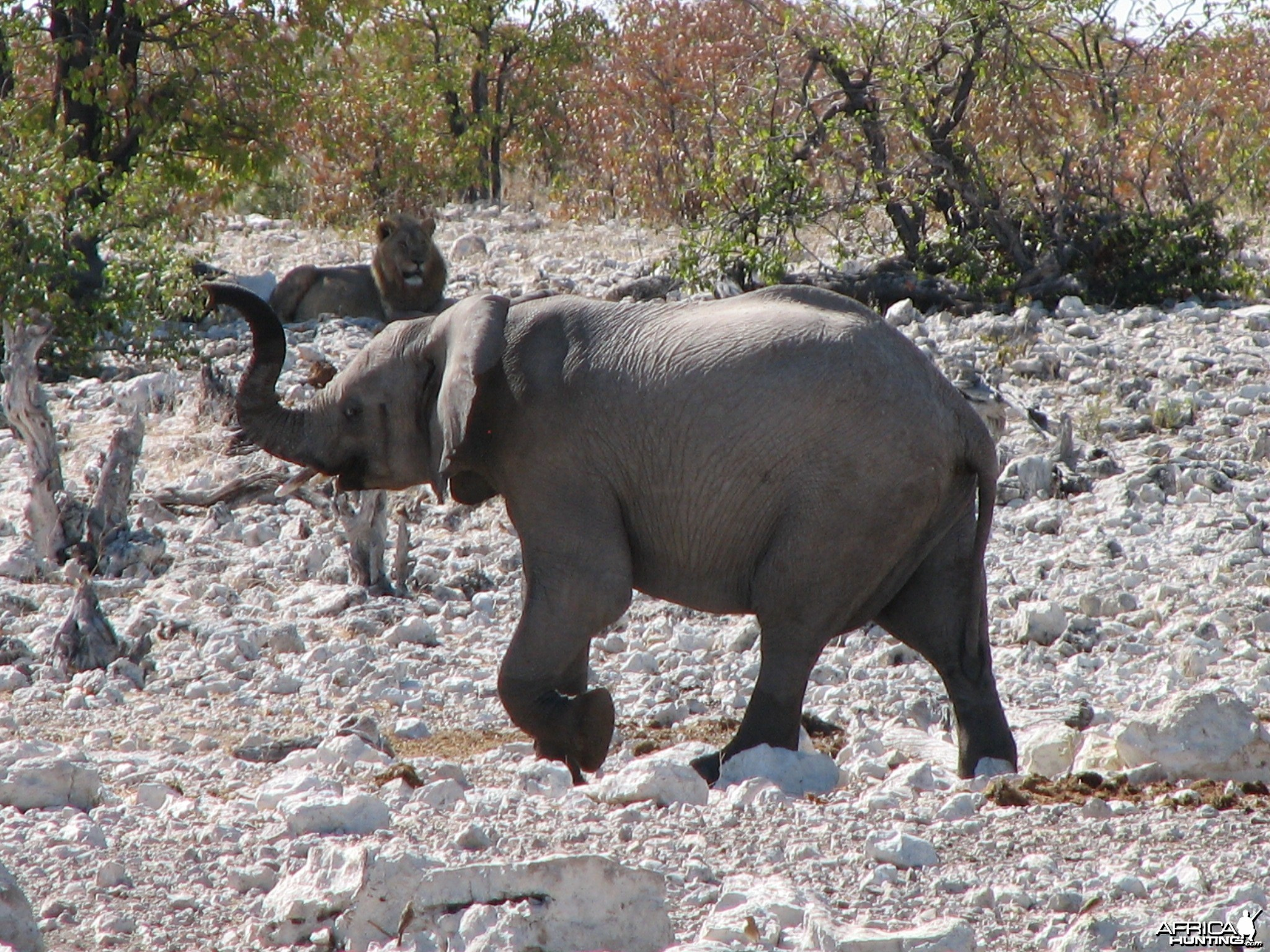 Young Elephant at Etosha National Park, Namibia