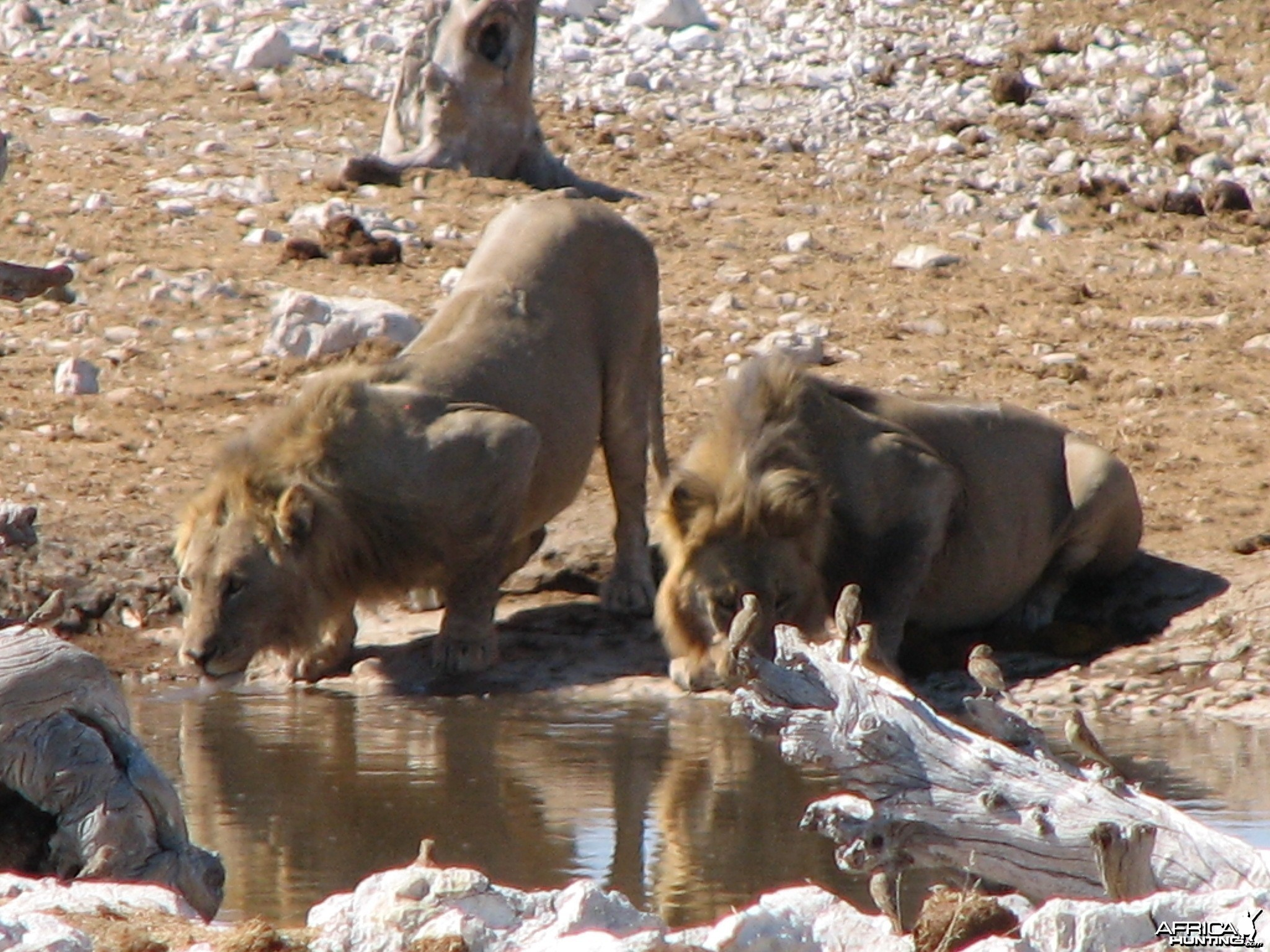 Lions at Etosha National Park, Namibia