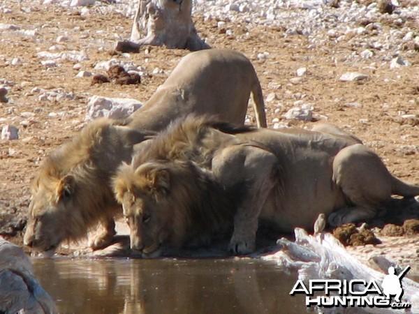 Lions at Etosha National Park, Namibia