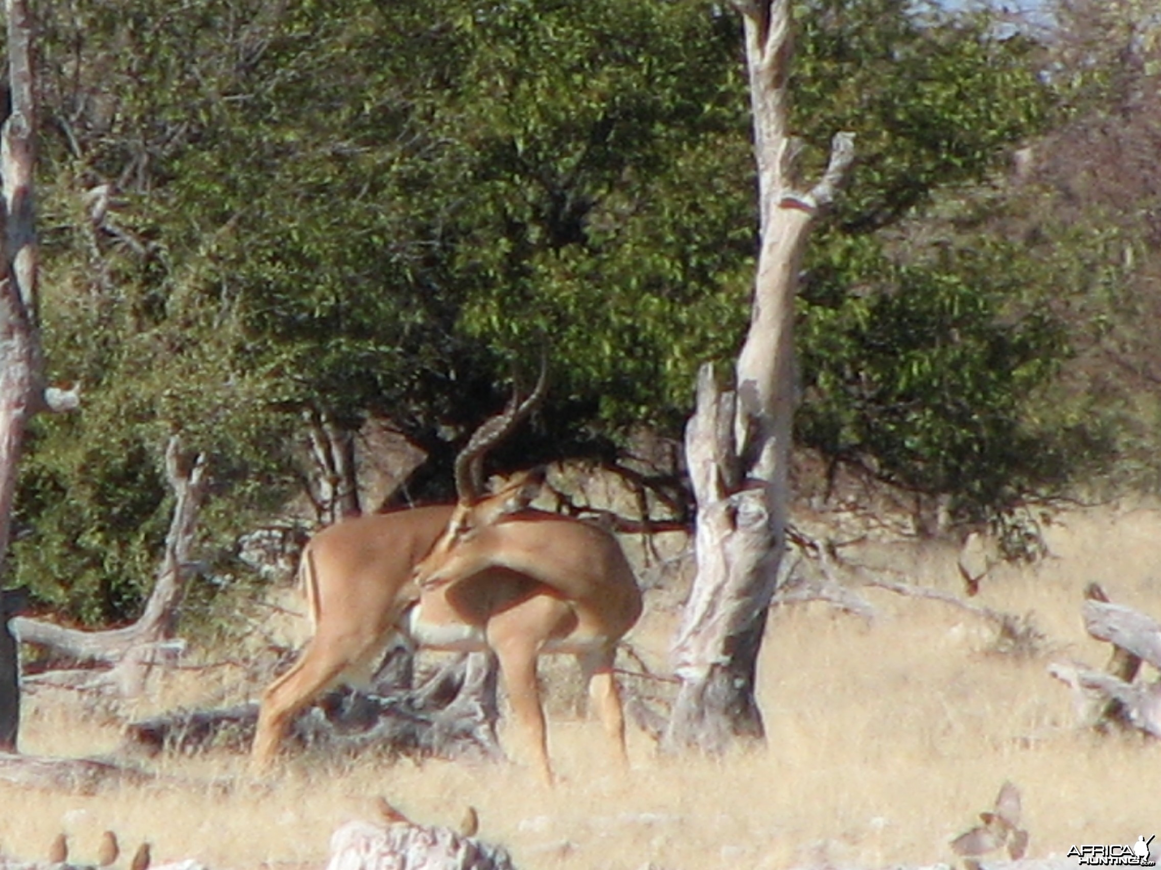 Black-Faced Impala at Etosha National Park, Namibia