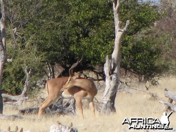 Black-Faced Impala at Etosha National Park, Namibia