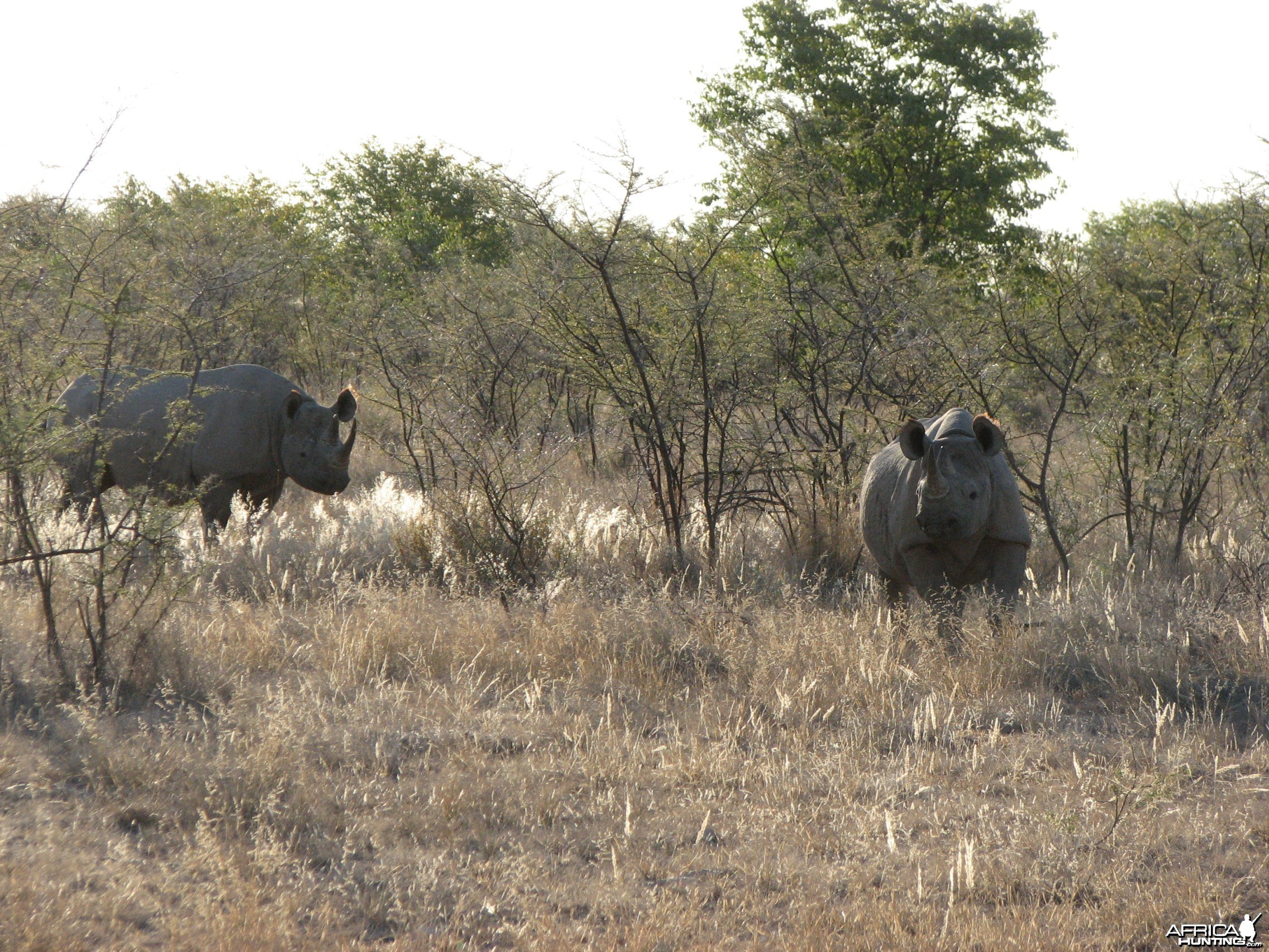 Black Rhinos at Etosha National Park, Namibia