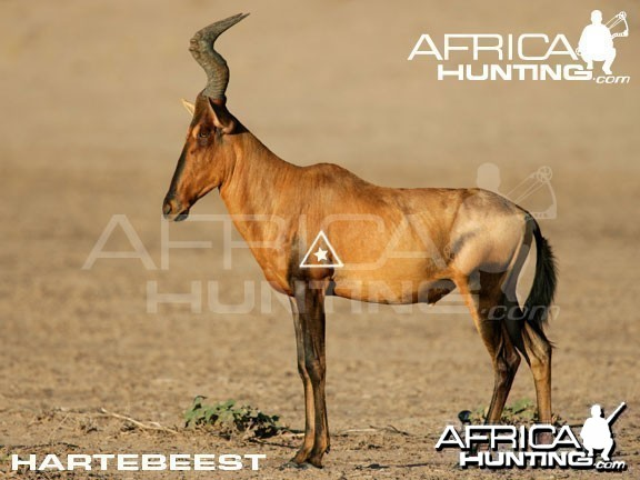 Bowhunting Hartebeest Shot Placement