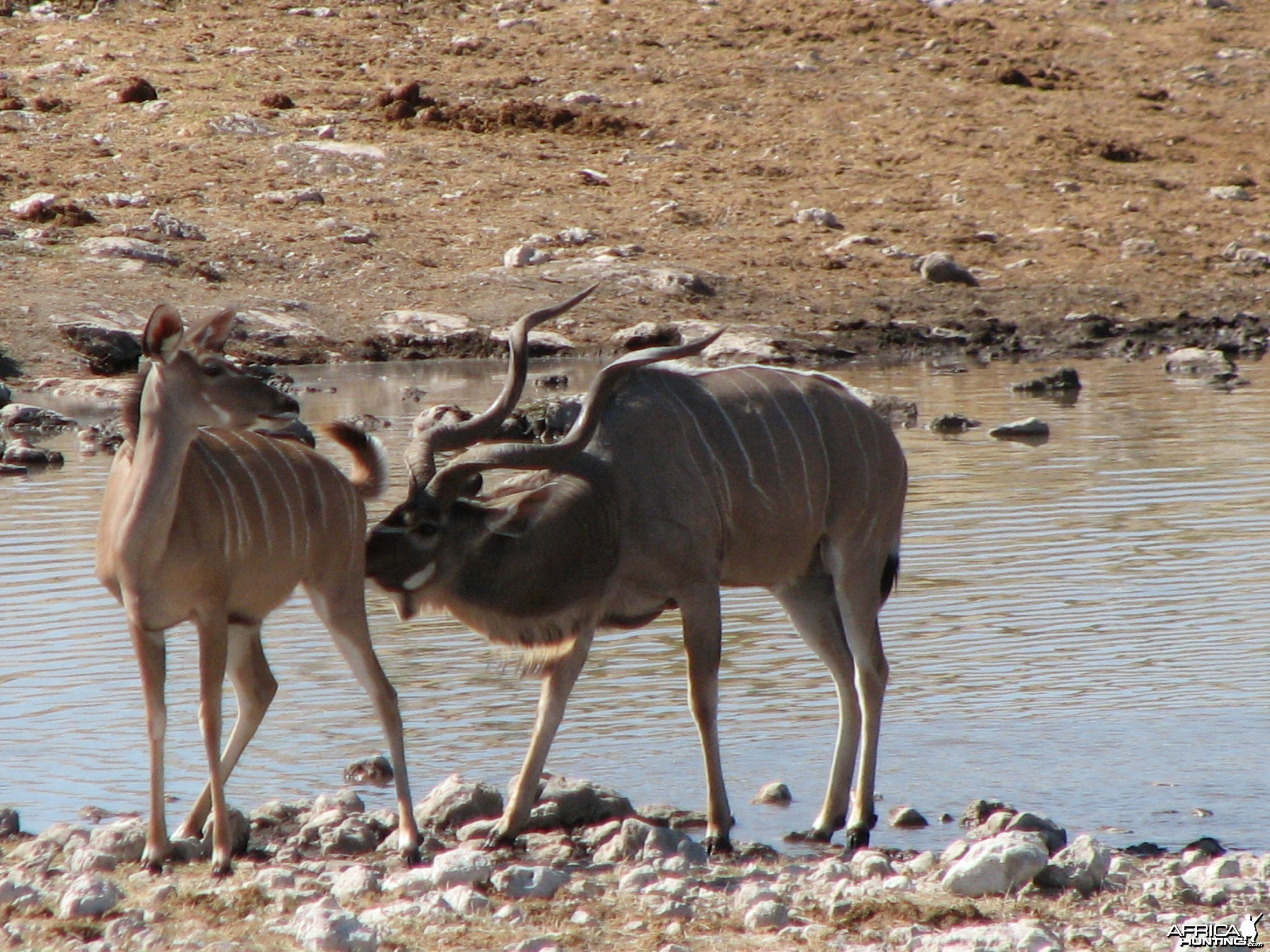 Kudus at Etosha National Park, Namibia
