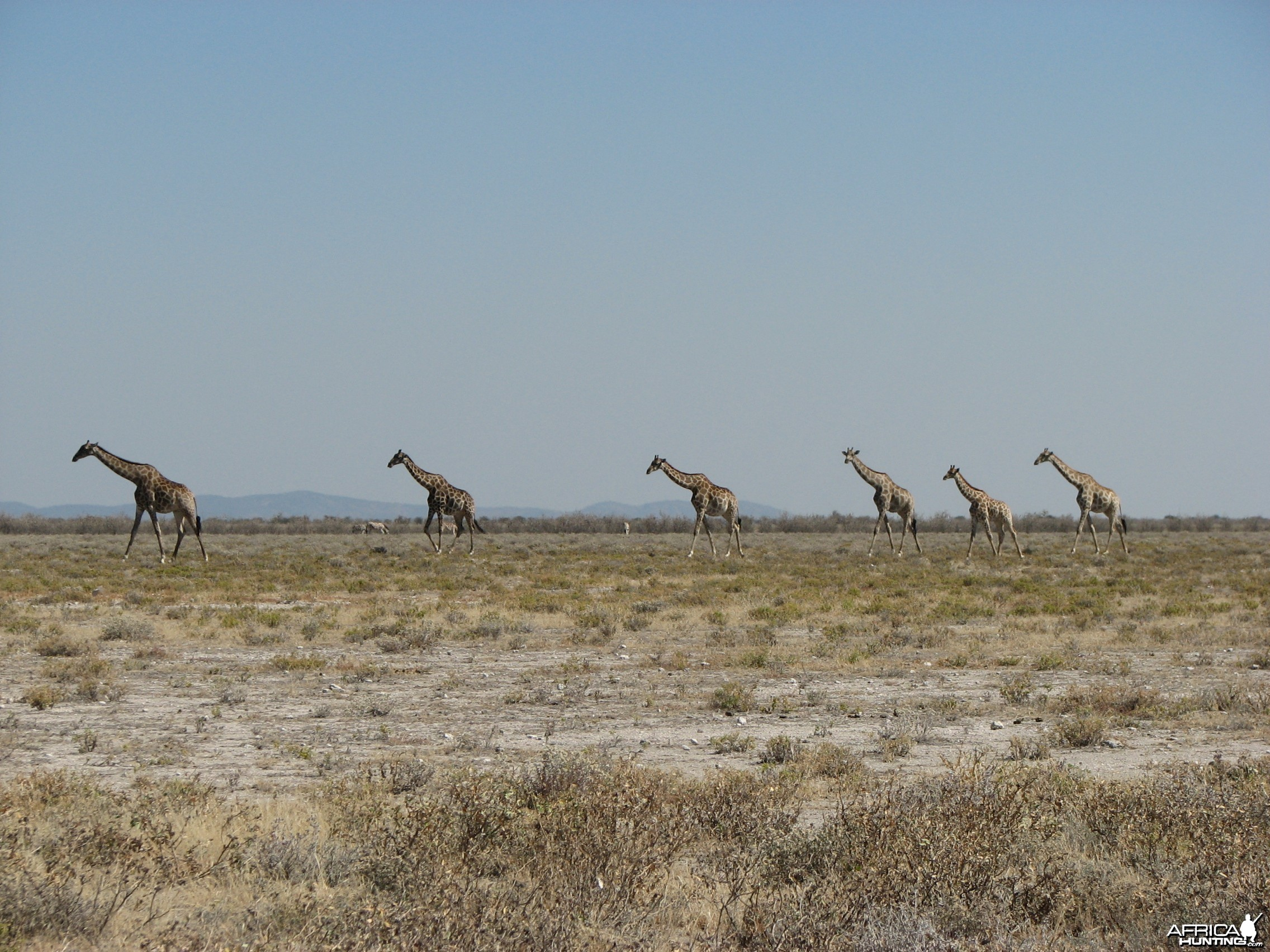 Giraffes at Etosha National Park, Namibia