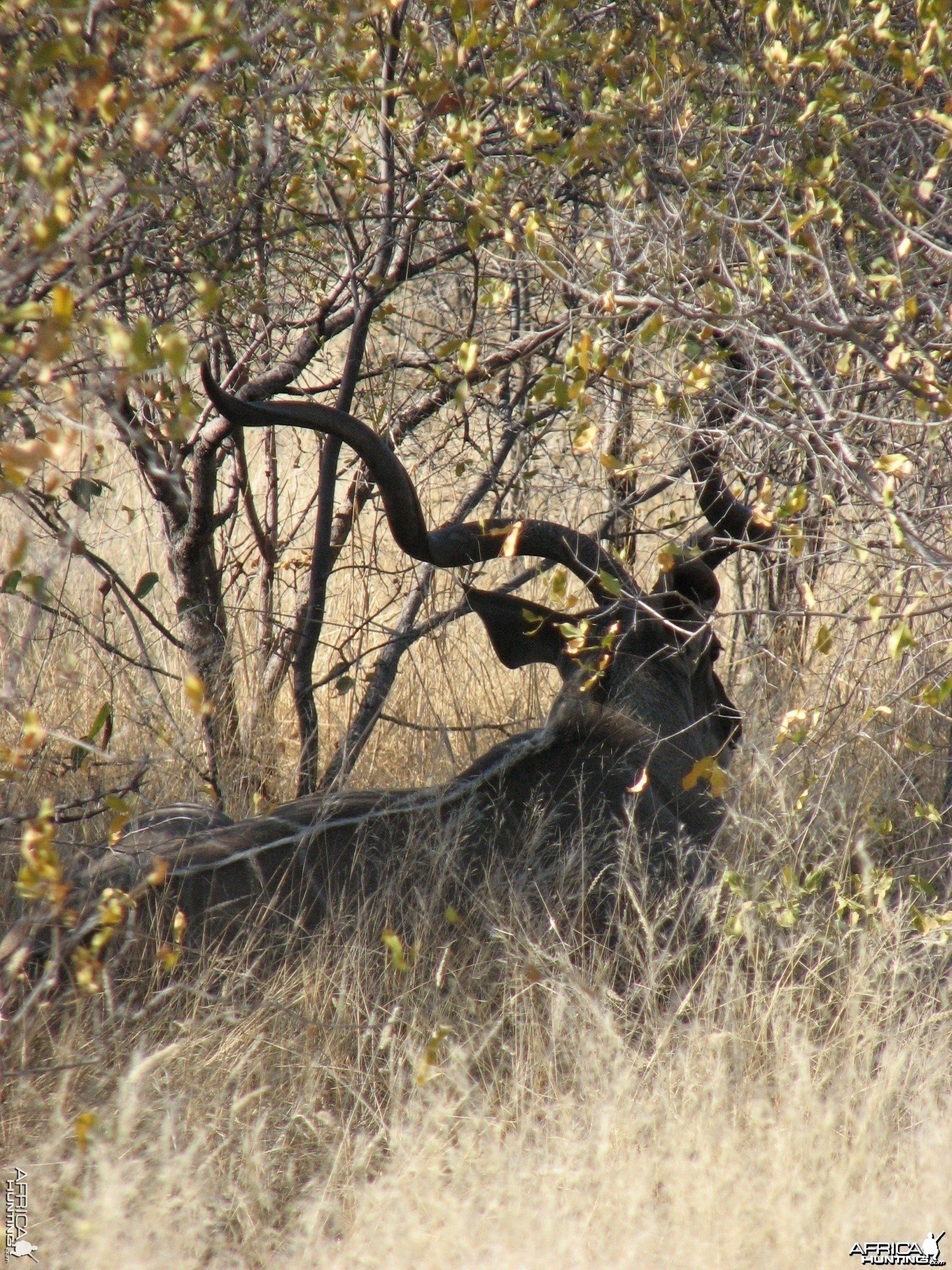 Greater Kudu at Etosha National Park, Namibia