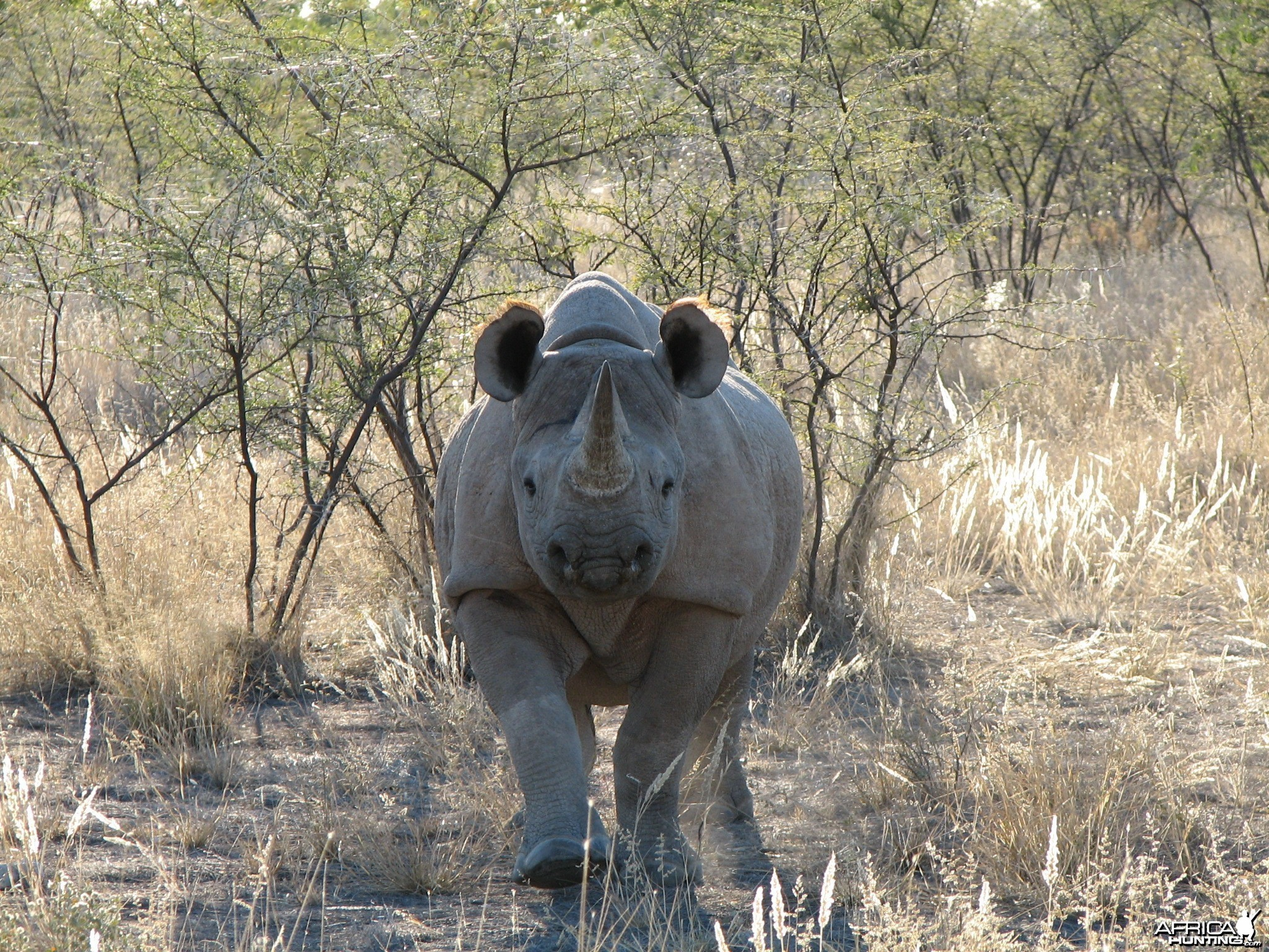 Black Rhino at Etosha National Park, Namibia