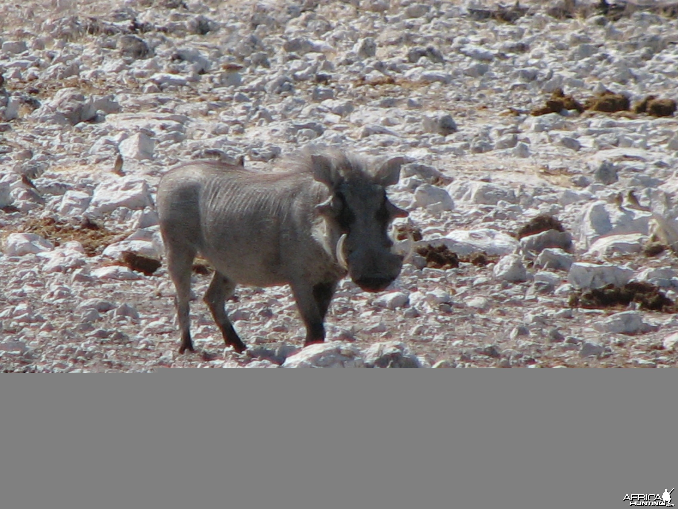Warthog at Etosha National Park, Namibia