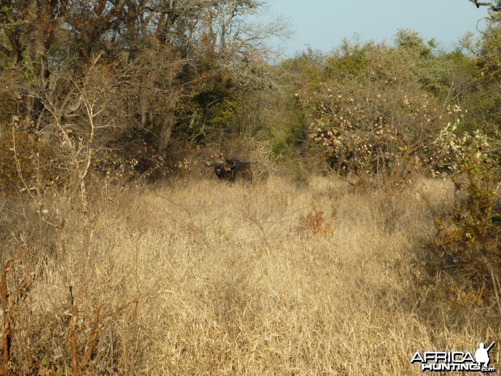 Buffalo in Zzimbabwe