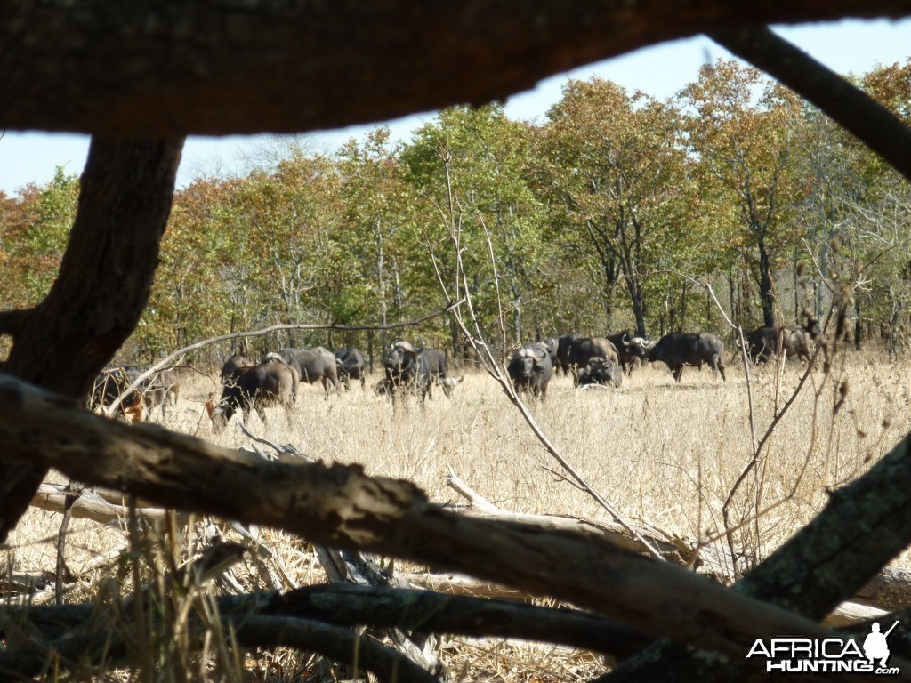 Buffaloes in Zimbabwe