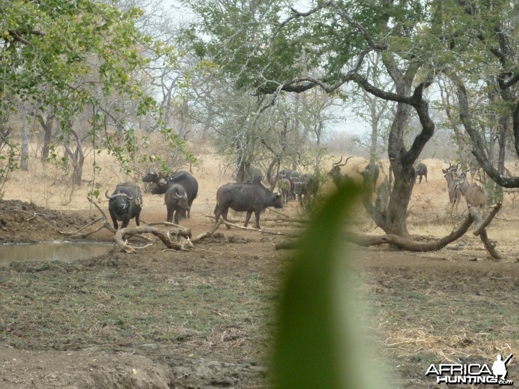 Buffaloes and kudus in Zimbabwe
