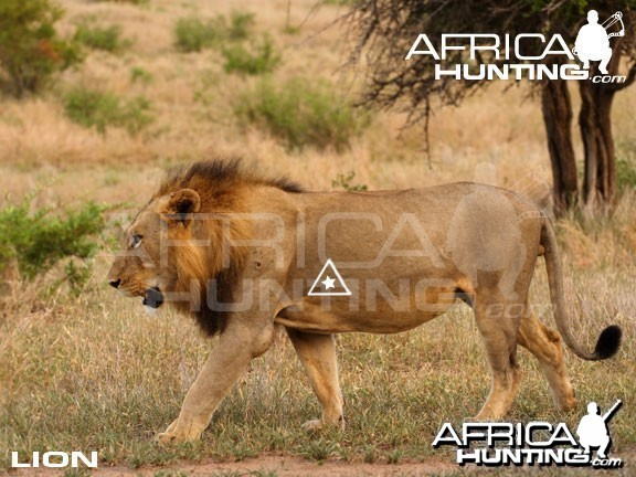 Bowhunting Lion Shot Placement