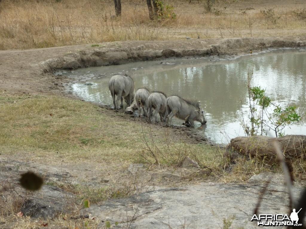 Warthogs in Zimbabwe