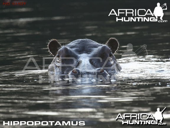 Bowhunting Hippopotamus Shot Placement