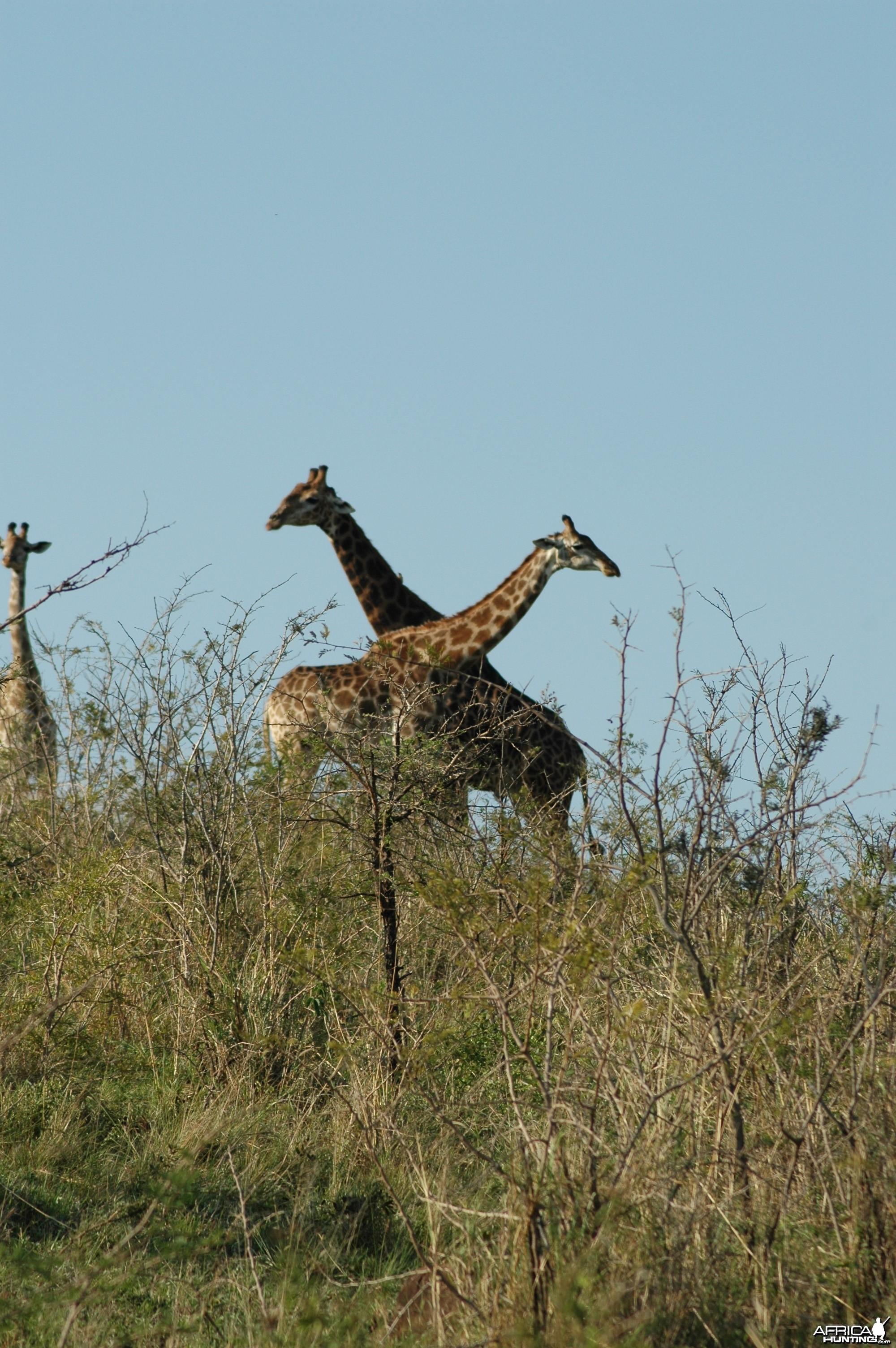Giraffes in South Africa