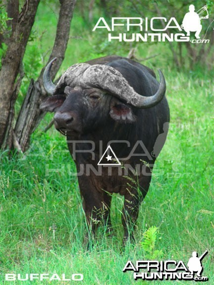 Bowhunting Buffalo Front View Shot Placement