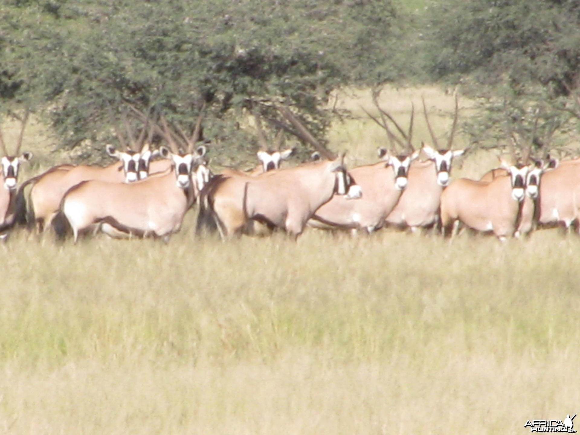 Gemsboks South Africa