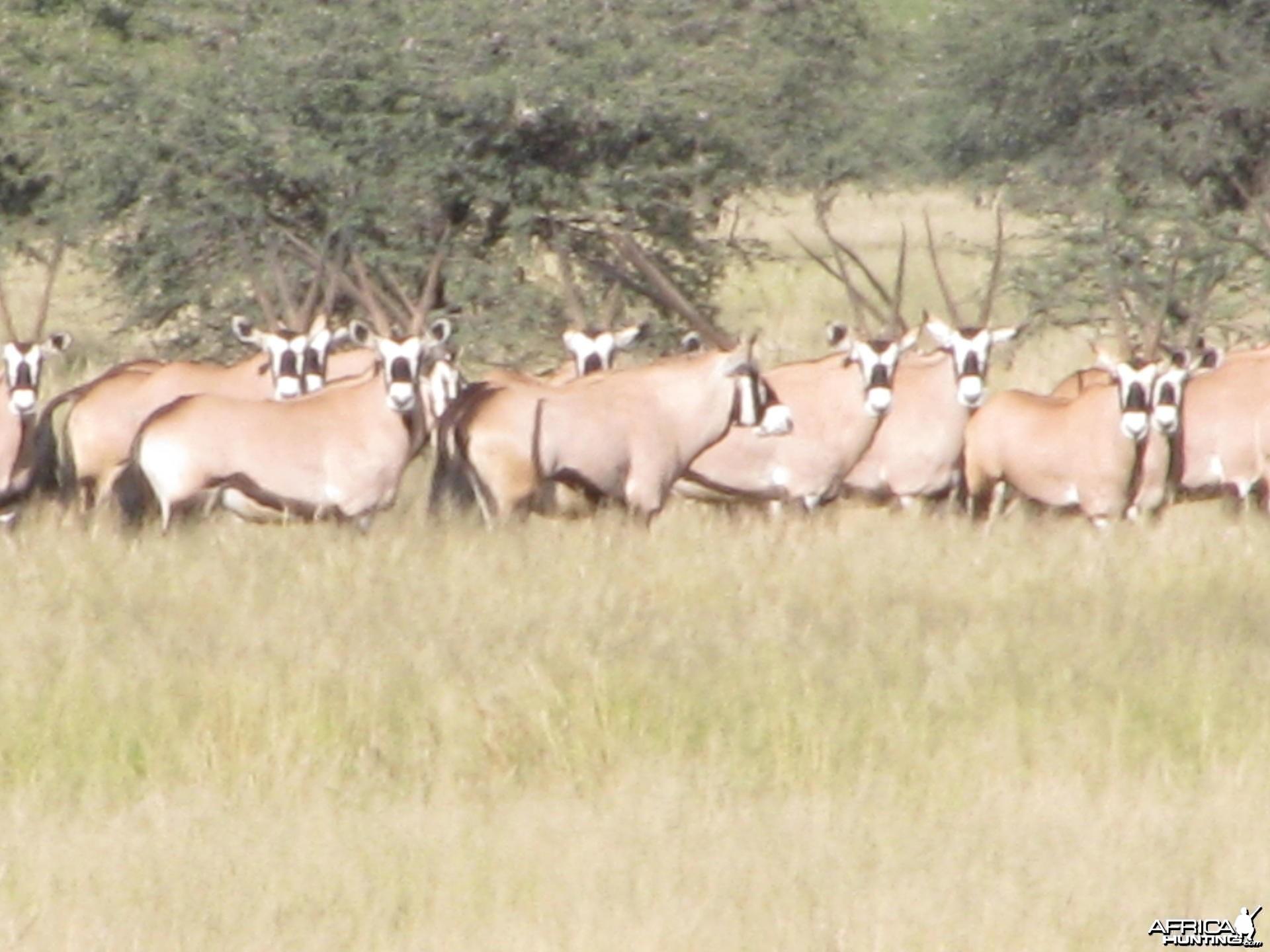 Gemsboks South Africa