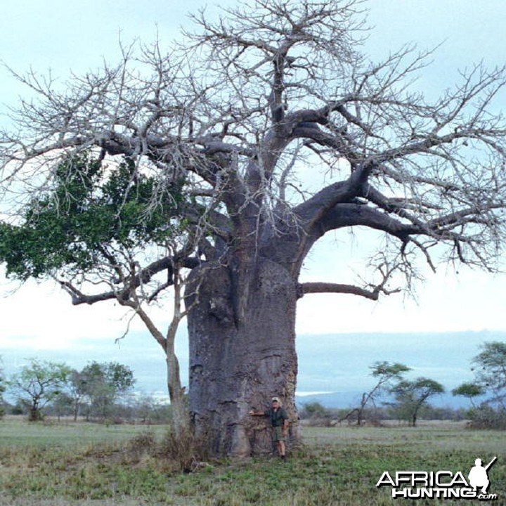 Baobab in the Selous