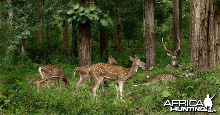 Chital Deer group, India