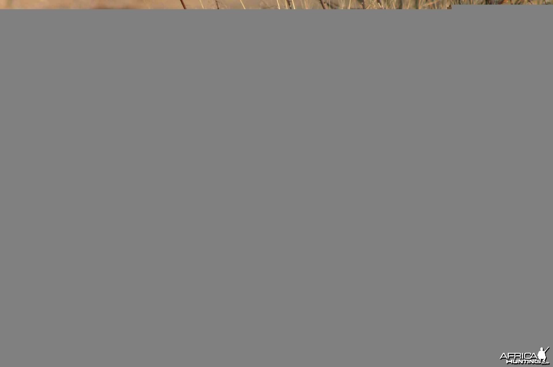 Epako Cheetah