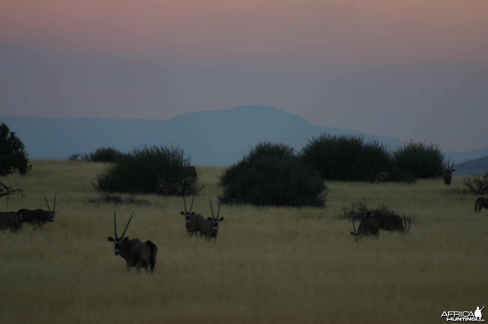 Palmwag Oryx