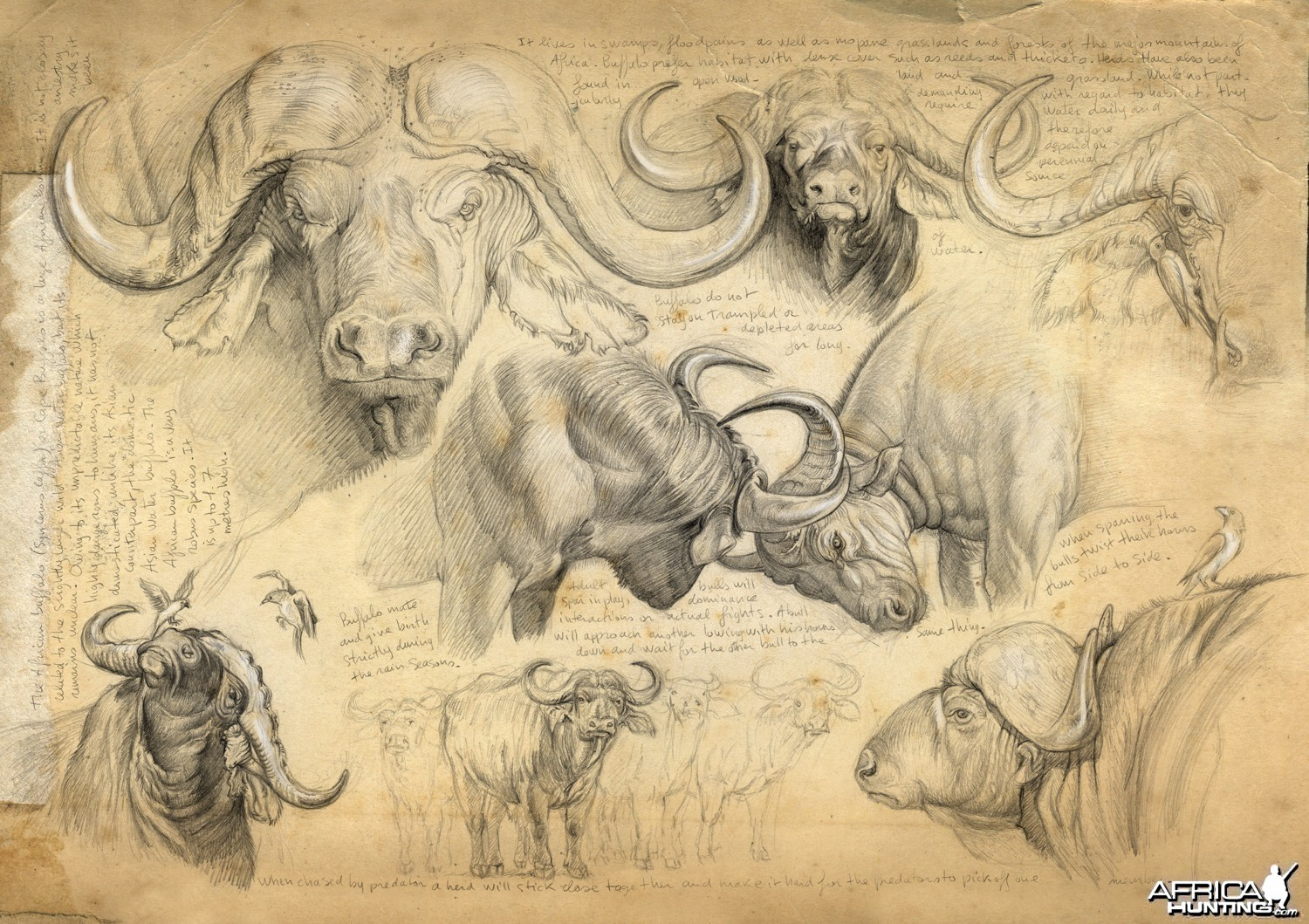 Wildlife Artist Marcello Pettineo - Buffalo