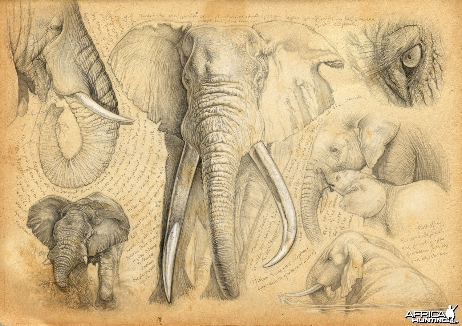 Wildlife Artist Marcello Pettineo - Elephant