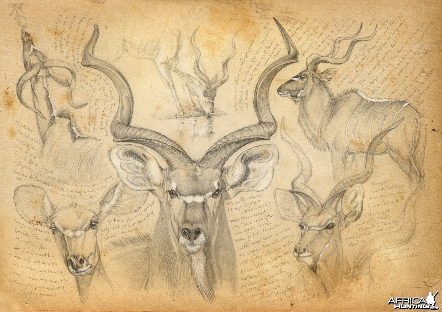 Wildlife Artist Marcello Pettineo - Kudu