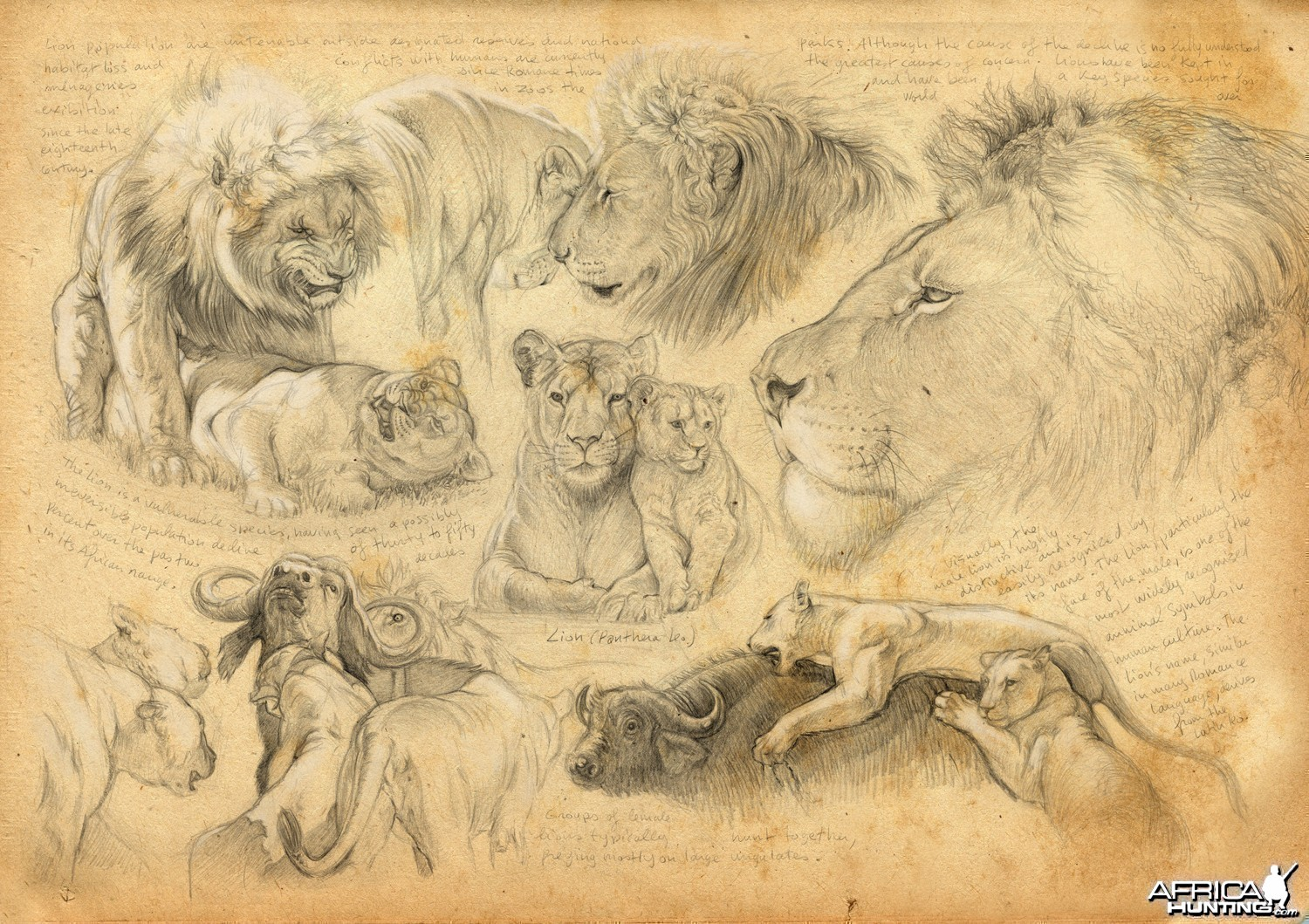 Wildlife Artist Marcello Pettineo - Lion