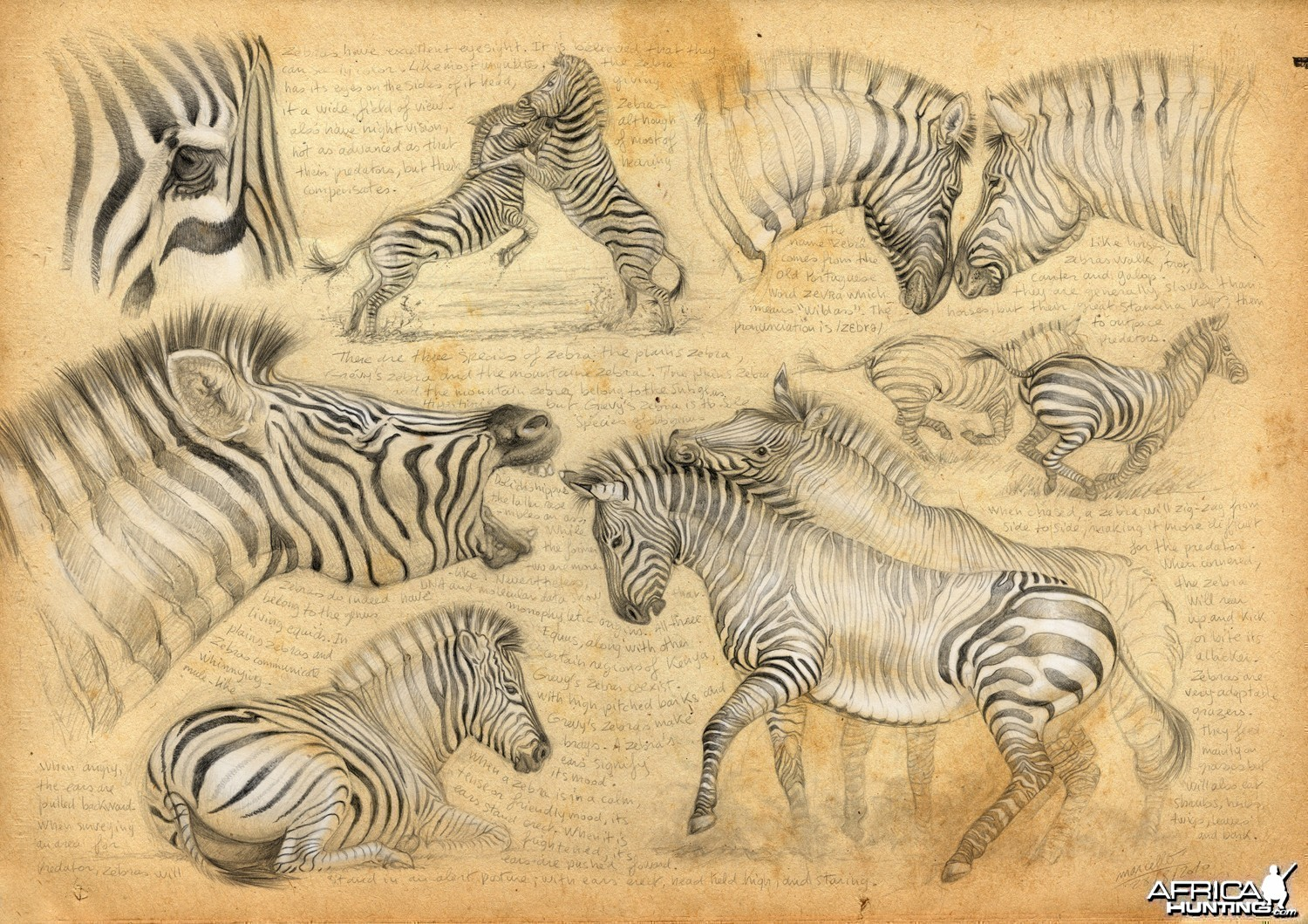 Wildlife Artist Marcello Pettineo - Zebra