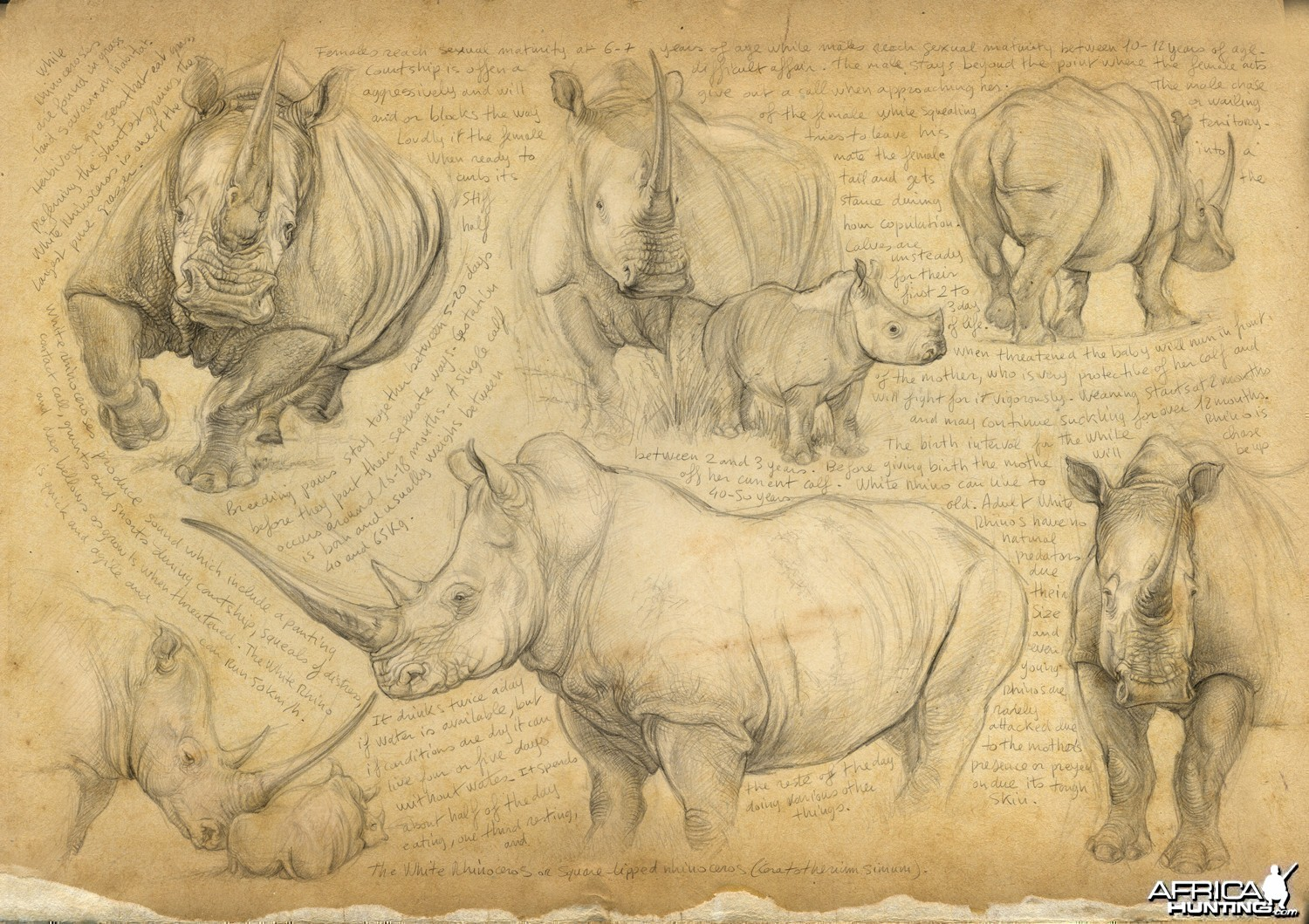 Wildlife Artist Marcello Pettineo - White Rhino