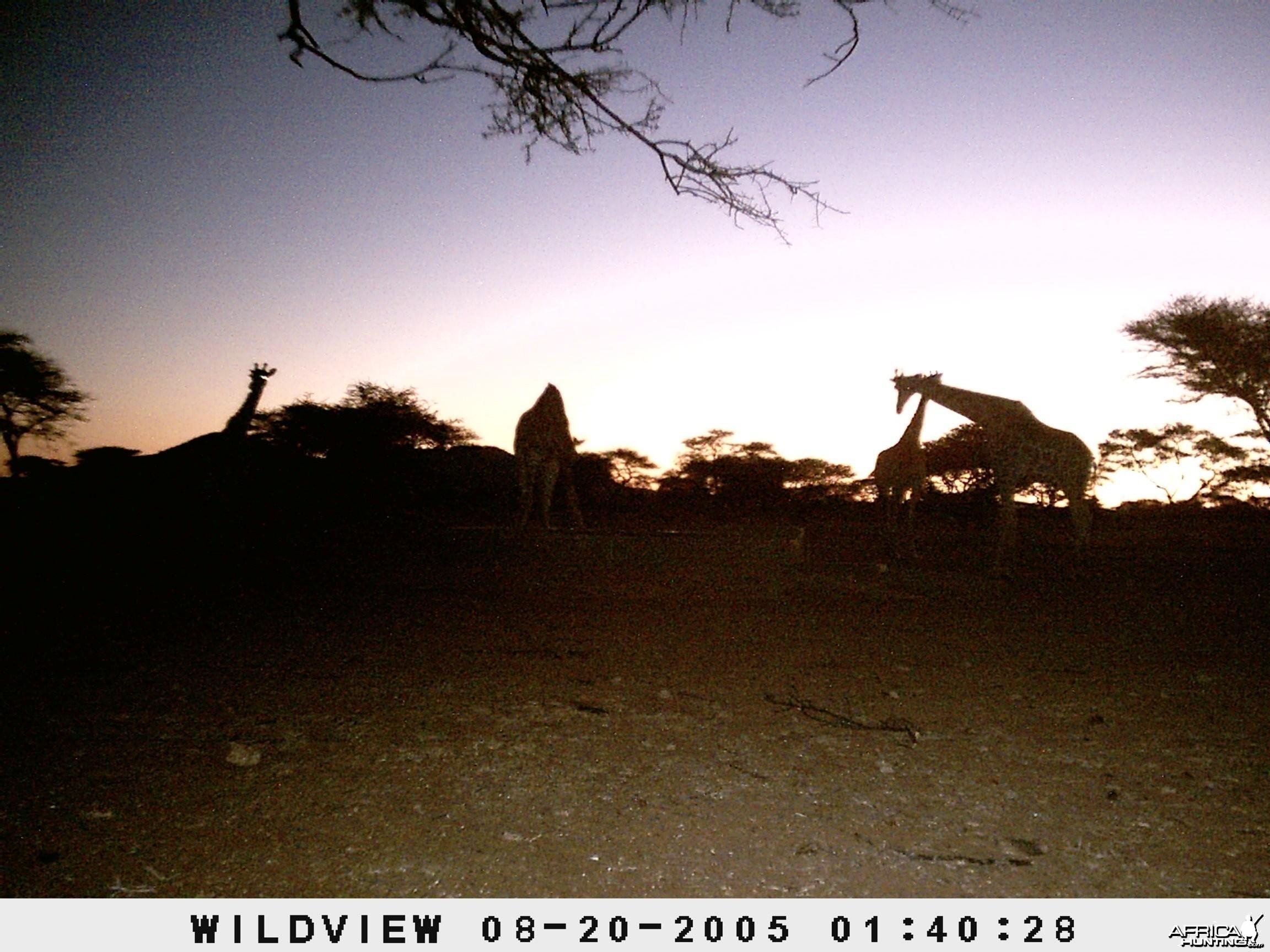 Giraffes, Namibia