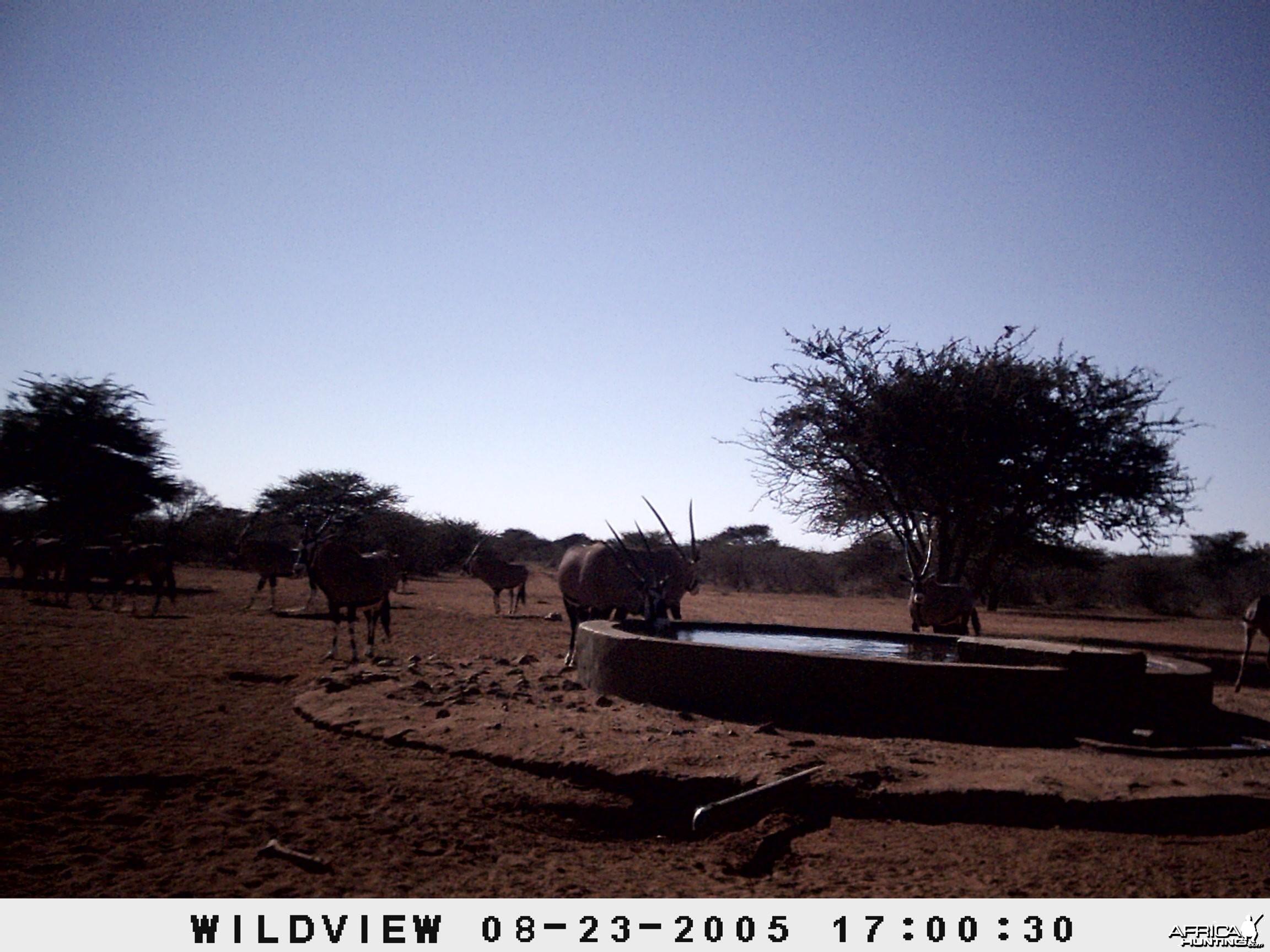 Gemsboks, Namibia