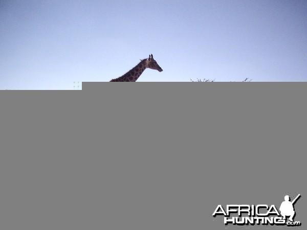 Gemsboks, Giraffes and Baboon, Namibia