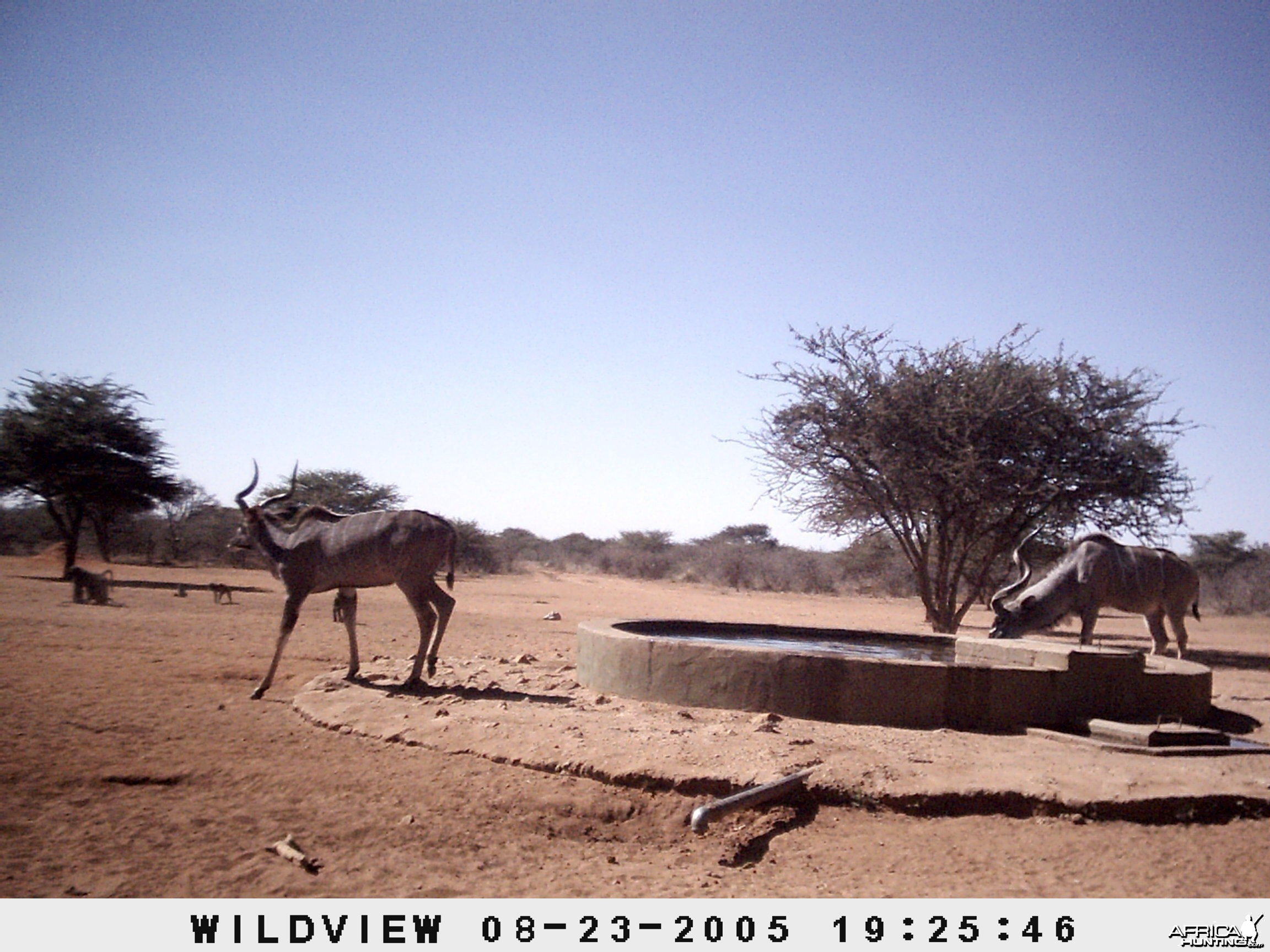 Kudus and Baboons, Namibia