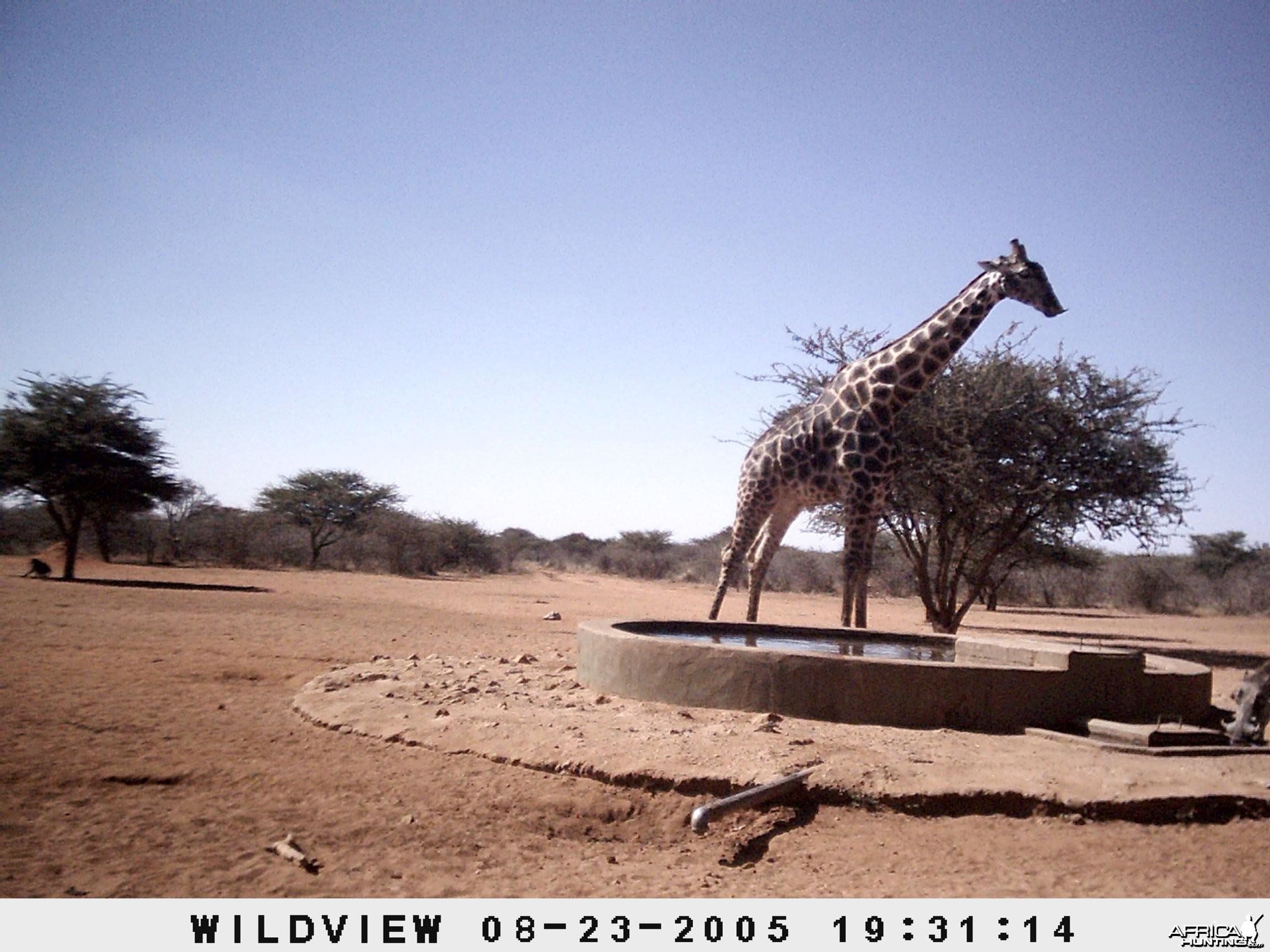 Giraffes, Warthog and Baboon, Namibia