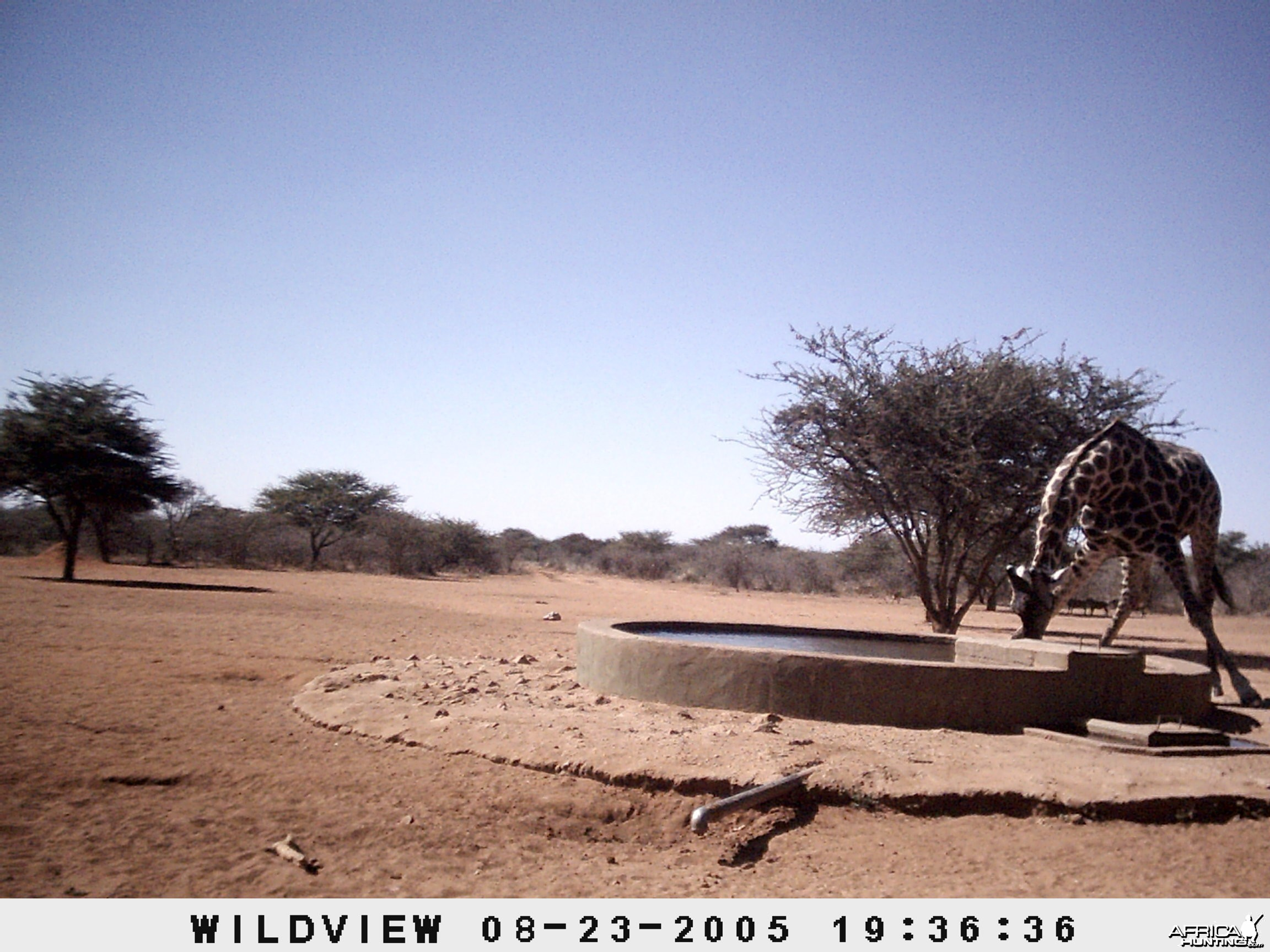 Giraffes and Warthogs, Namibia